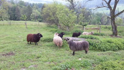 Bon Jovi (braun) und seine Herde